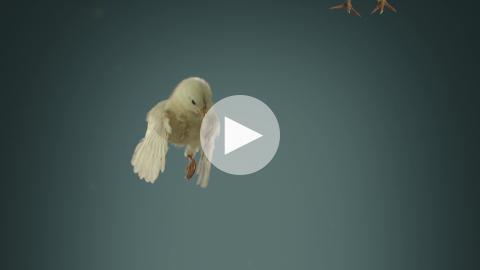 Flying Chicks